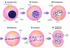 28 Identify The Stages Of Meiosis On The Diagram