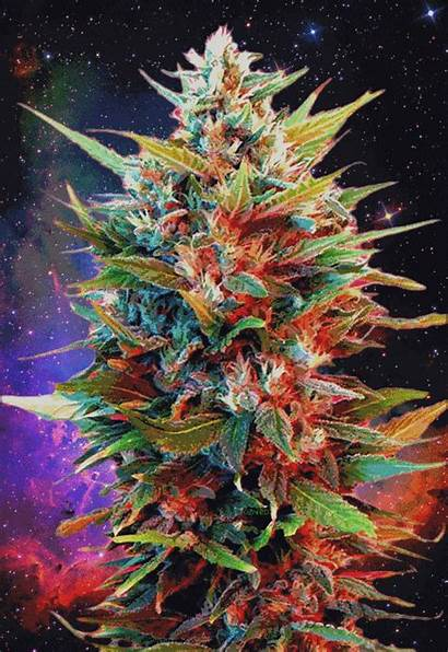 Weed Marijuana Trippy Smoke Plant Gifs Cannabis