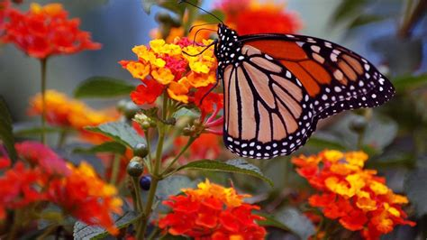 Fonds Décran Télécharger 1600x900 Fleurs Papillons