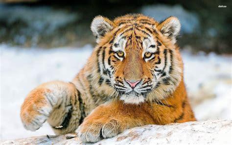 Cute Tiger Wallpapers Wallpaper Cave