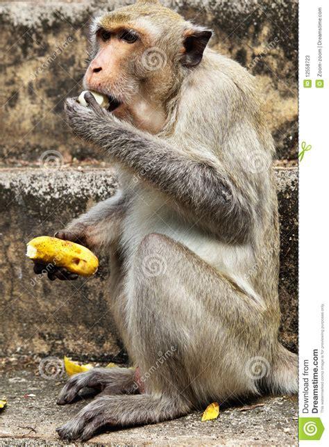 monkey  banana stock  image