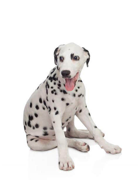 dalmatiner hundar rasinformations omlet