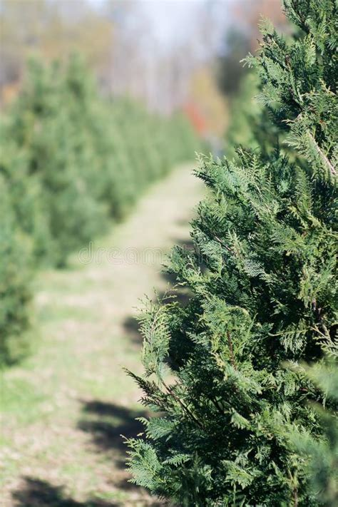 catchy collections of sc christmas tree farms perfect