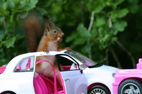 red squirrel in car | Red squirrel in a Barbie Fiat 500 ...