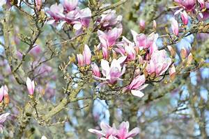 Fleur De Magnolia : fleurs de magnolia et de cognassier du japon 11 mars 2017 ~ Melissatoandfro.com Idées de Décoration