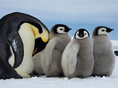 royal penguin mother   cubs  gray fur desktop