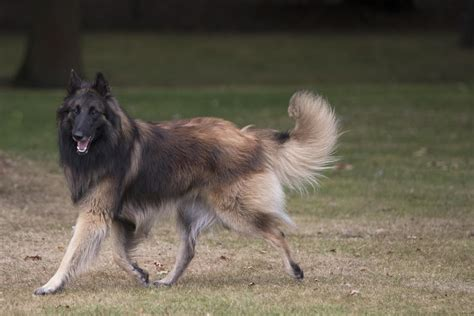 numerous types  strong  sturdy shepherd dogs