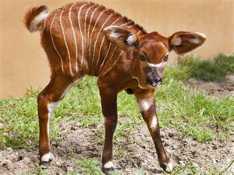 bongo wallpaper animals town