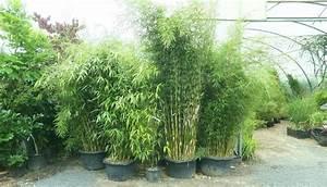 Chinaschilf Im Kübel : bambus k bel sichtschutz gr ser im k bel berwintern ~ Frokenaadalensverden.com Haus und Dekorationen