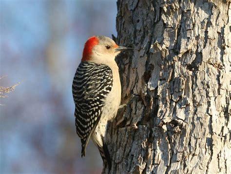 red bellied woodpecker melanerpes carolinus wildlife