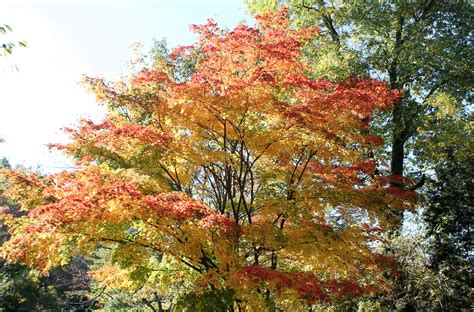 What's Killing The Japanese Maples?  Garden Housecalls