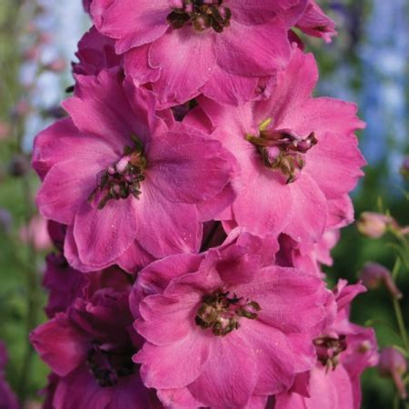 delphinium seeds pink punch new featured flowers