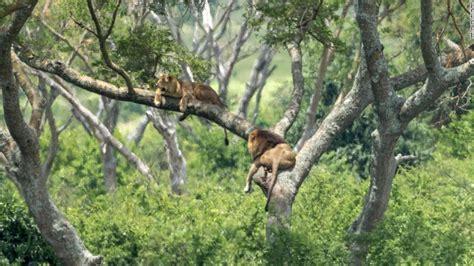 lions killed   suspected poison attack  uganda cnn