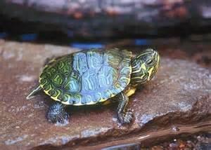 La cura delle tartarughe acquatiche piccola guida per