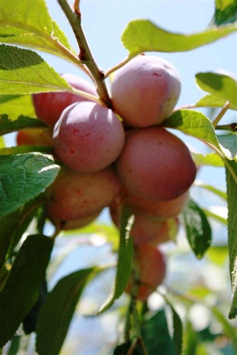 Pflaumenbaum Richtig Pflanzen Und Pflegen by Pflaumenbaum D 252 Ngen 187 Womit Wie Oft Und Wie