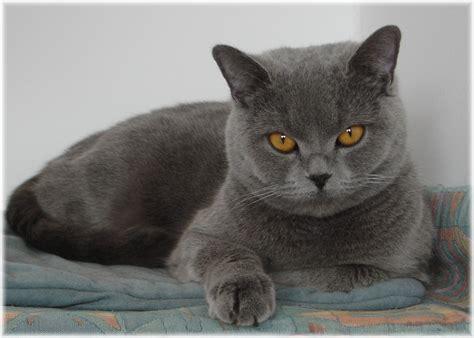 Shorthair Cat - amazing dogs breeds shorthair cat