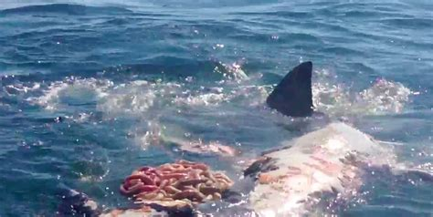 Fishing Boat Attacked By Shark South Africa by Cape Cod Shark The New Reality The Platinum Pebble