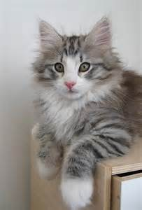 Do Maine Coons Shed by 25 Best Ideas About Forest Cat On