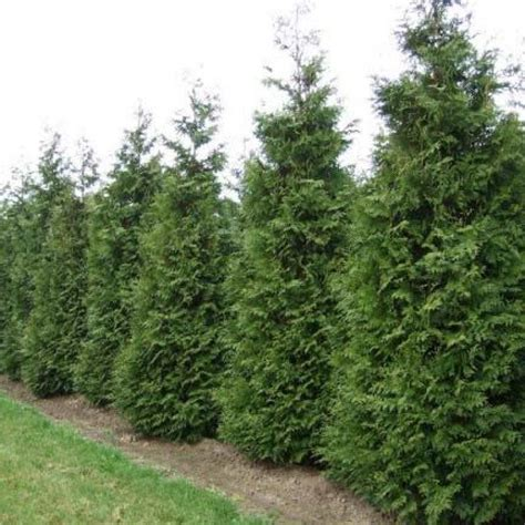 thuja occidentalis brabant thuja occidentalis brabant туя хвойные thuja occidentalis planting and gardens