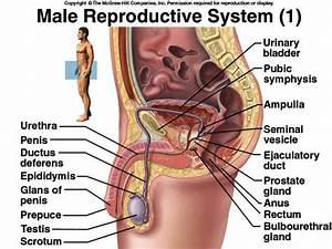 Reproductive System Diagram Labeled | www.pixshark.com ...