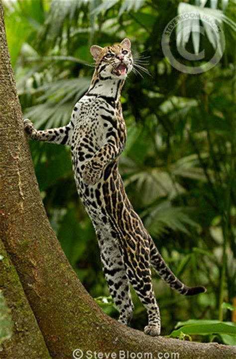 ocelot amazon rain forest ecuador