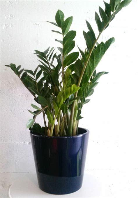 Zimmerpflanze Wenig Licht welche zimmerpflanzen brauchen wenig licht