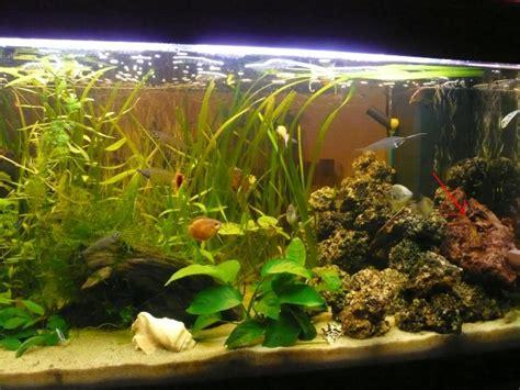 neon bleu aquarium eau douce aquarium ramirezi 28 images orange electric blue ramirezi aquarium advice aquarium forum