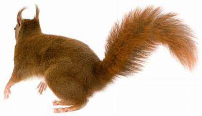 Tail Animal Squirrel Transparent Pluspng Background Featured