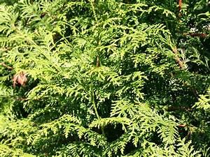 Thuja Brabant Wachstum : thuja brabant pflanzzeit lebensbaum thuja brabant 140 160 ~ Michelbontemps.com Haus und Dekorationen