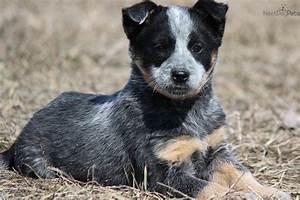 Australian+Cattle+Dog+Puppies | Black Australian Cattle ...