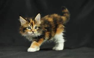 cat adoption me maine coon kittens adoption or buy from a breeder