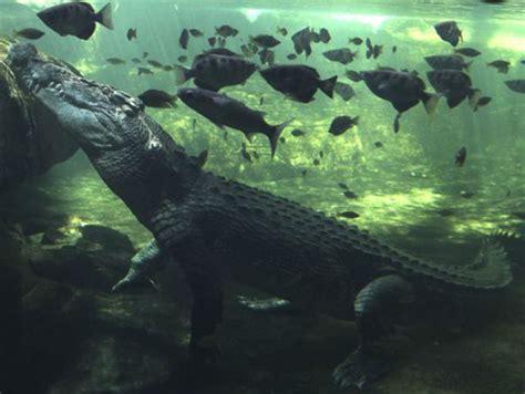 brutus  giant crocodile attacks shark  australia