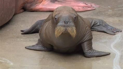 adorable baby walrus   cutest waddle