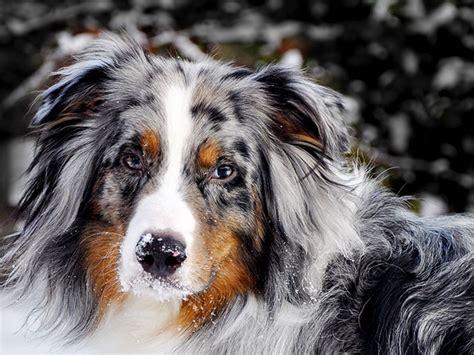 pictures  australian shepherd dog