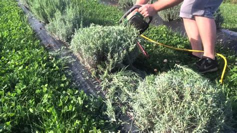 pruning lavender bush pruning lavender in the fall youtube
