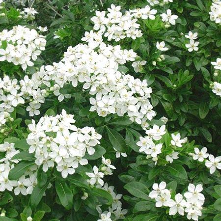 les 25 meilleures id 233 es de la cat 233 gorie arbuste 224 fleurs blanches sur voie de