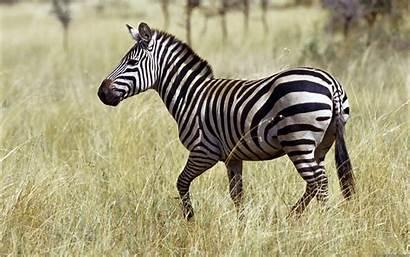 Zebra Animal Background