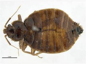 tropical bed bug With bed bug scientific name
