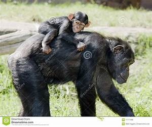 Chimp Mother With Baby On Back Stock Photo