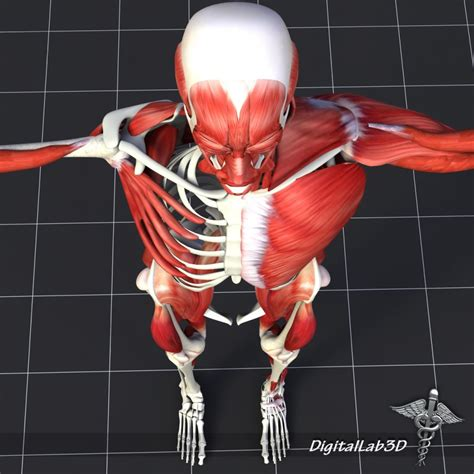 There are 206 bones in the human body. Human Muscle And Bone Structure 3d model - CGStudio