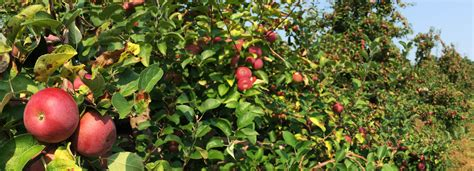 It's Apple Picking Season! Learn About This Versatile Fall ...
