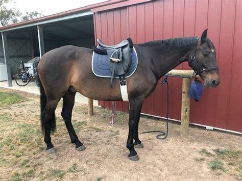 andalusian spanish horse horses tb horsezone