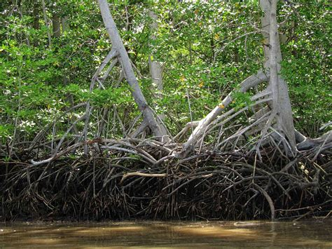 MANGROVES IN ECUADOR