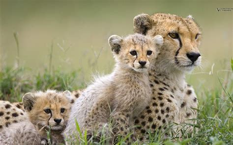 Safari Animals Wallpaper - free safari animals free clip free clip