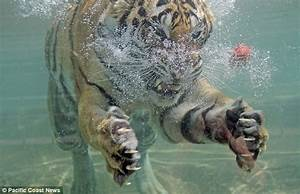 Real Tiger Claws