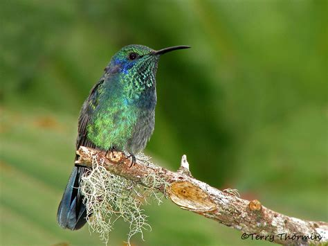 the green violetear terry thormin vancouver island nature