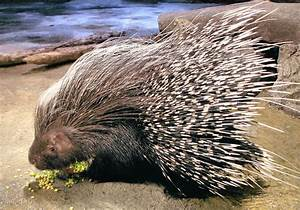 African crested porcupine   Flickr - Photo Sharing!