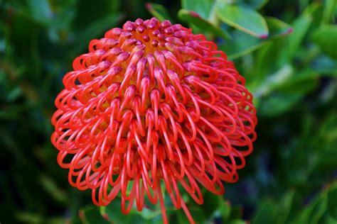 common pincushion protea photograph by werner lehmann