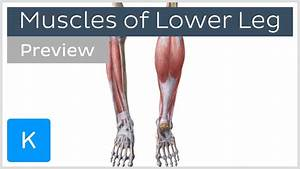 Muscles Of The Lower Leg And Knee  Preview  - Human Anatomy