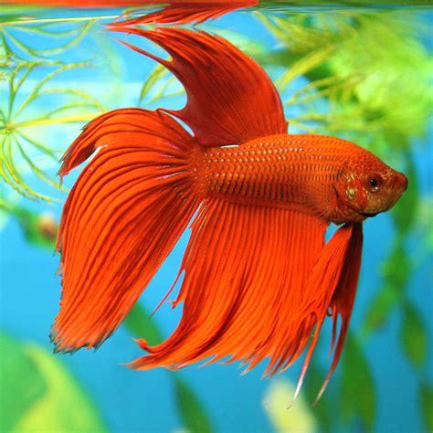 beta fish betta fish
